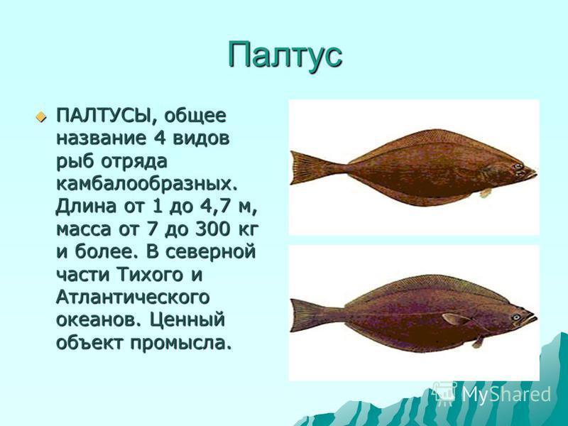 Палтус ПАЛТУСЫ, общее название 4 видов рыб отряда камбалообразных. Длина от 1 до 4,7 м, масса от 7 до 300 кг и более. В северной части Тихого и Атлантического океанов. Ценный объект промысла. ПАЛТУСЫ, общее название 4 видов рыб отряда камбалообразных