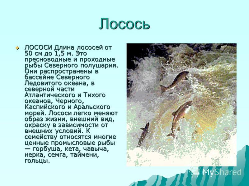 Лосось ЛОСОСИ Длина лососей от 50 см до 1,5 м. Это пресноводные и проходные рыбы Северного полушария. Они распространены в бассейне Северного Ледовитого океана, в северной части Атлантического и Тихого океанов, Черного, Каспийского и Аральского морей