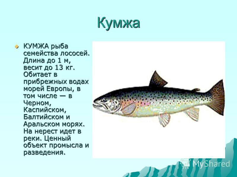 Кумжа КУМЖА рыба семейства лососей. Длина до 1 м, весит до 13 кг. Обитает в прибрежных водах морей Европы, в том числе в Черном, Каспийском, Балтийском и Аральском морях. На нерест идет в реки. Ценный объект промысла и разведения. КУМЖА рыба семейств