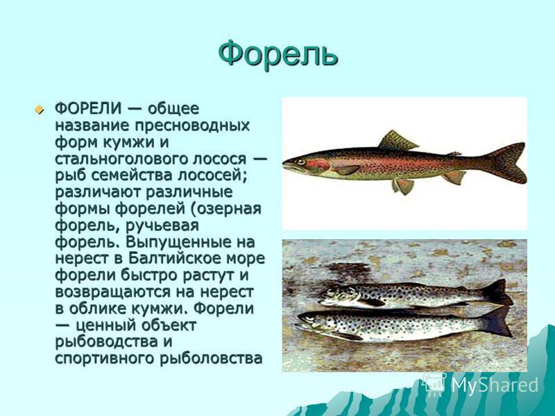 Форель ФОРЕЛИ общее название пресноводных форм кумжи и стальноголового лосося рыб семейства лососей; различают различные формы форелей (озерная форель, ручьевая форель. Выпущенные на нерест в Балтийское море форели быстро растут и возвращаются на нер