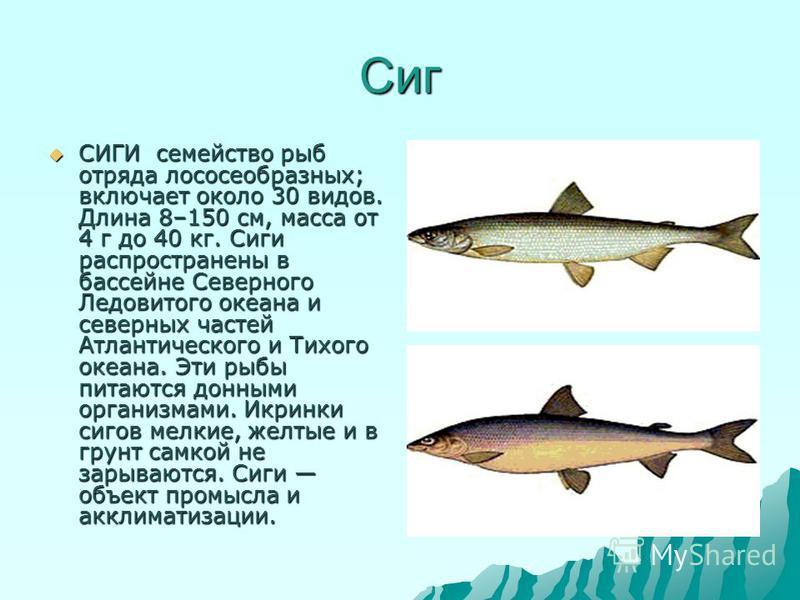 Сиг СИГИ семейство рыб отряда лососеобразных; включает около 30 видов. Длина 8–150 см, масса от 4 г до 40 кг. Сиги распространены в бассейне Северного Ледовитого океана и северных частей Атлантического и Тихого океана. Эти рыбы питаются донными орган