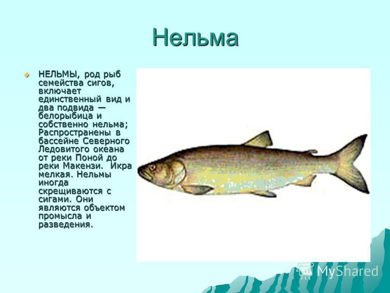 Нельма НЕЛЬМЫ, род рыб семейства сигов, включает единственный вид и два подвида белорыбица и собственно нельма; Распространены в бассейне Северного Ледовитого океана от реки Поной до реки Макензи. Икра мелкая. Нельмы иногда скрещиваются с сигами. Они