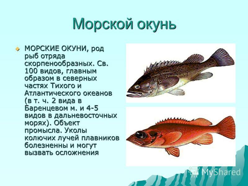 Морской окунь МОРСКИЕ ОКУНИ, род рыб отряда скорпенообразных. Св. 100 видов, главным образом в северных частях Тихого и Атлантического океанов (в т. ч. 2 вида в Баренцевом м. и 4-5 видов в дальневосточных морях). Объект промысла. Уколы колючих лучей