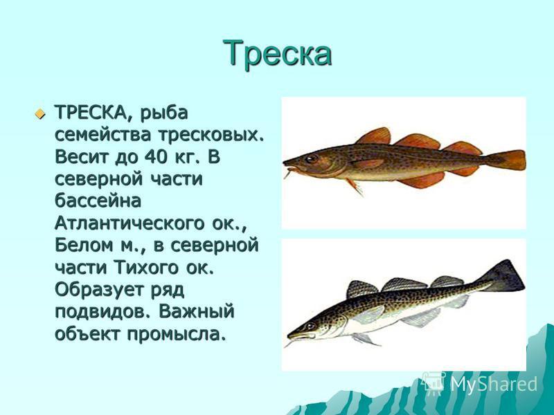 Треска ТРЕСКА, рыба семейства тресковых. Весит до 40 кг. В северной части бассейна Атлантического ок., Белом м., в северной части Тихого ок. Образует ряд подвидов. Важный объект промысла. ТРЕСКА, рыба семейства тресковых. Весит до 40 кг. В северной ч