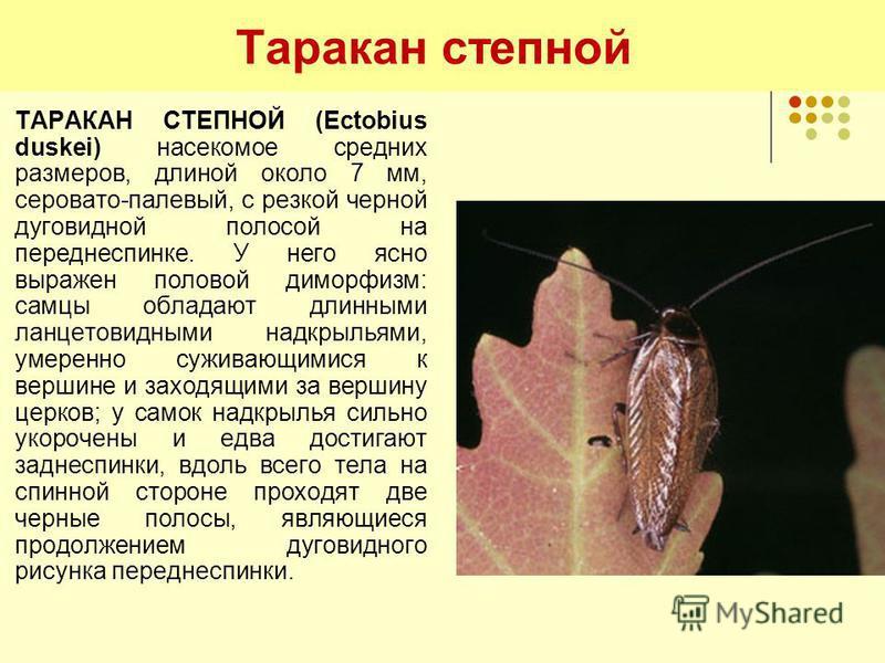 Таракан степной ТАРАКАН СТЕПНОЙ (Ectobius duskei) насекомое средних размеров, длиной около 7 мм, серовато-палевый, с резкой черной дуговидной полосой на переднеспинке. У него ясно выражен половой диморфизм: самцы обладают длинными ланцетовидными надк
