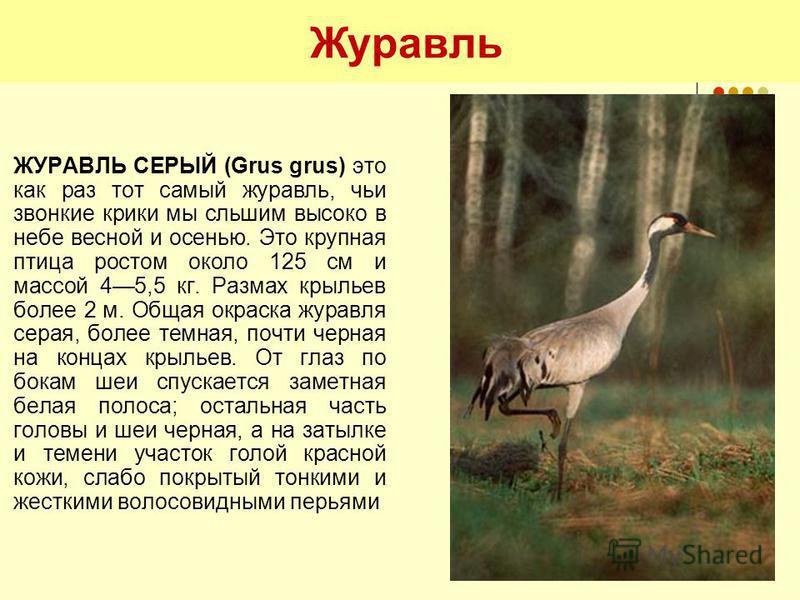 Журавль ЖУРАВЛЬ СЕРЫЙ (Grus grus) это как раз тот самый журавль, чьи звонкие крики мы слышим высоко в небе весной и осенью. Это крупная птица ростом около 125 см и массой 45,5 кг. Размах крыльев более 2 м. Общая окраска журавля серая, более темная, п