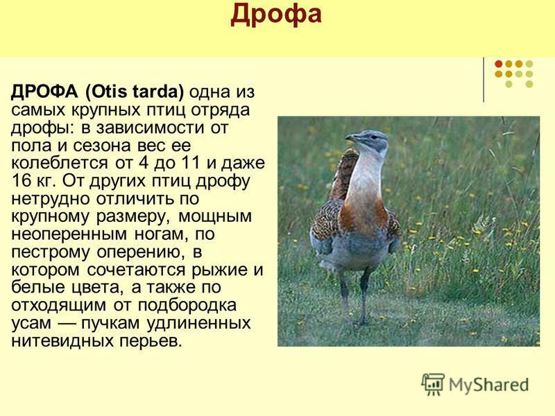 Дрофа ДРОФА (Otis tarda) одна из самых крупных птиц отряда дрофы: в зависимости от пола и сезона вес ее колеблется от 4 до 11 и даже 16 кг. От других птиц дрофу нетрудно отличить по крупному размеру, мощным неоперенным ногам, по пестрому оперению, в