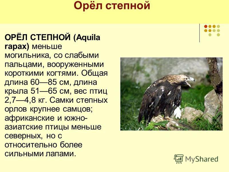 Орёл степной ОРЁЛ СТЕПНОЙ (Aquila rapax) меньше могильника, со слабыми пальцами, вооруженными короткими когтями. Общая длина 6085 см, длина крыла 5165 см, вес птиц 2,74,8 кг. Самки степных орлов крупнее самцов; африканские и южно- азиатские птицы мен