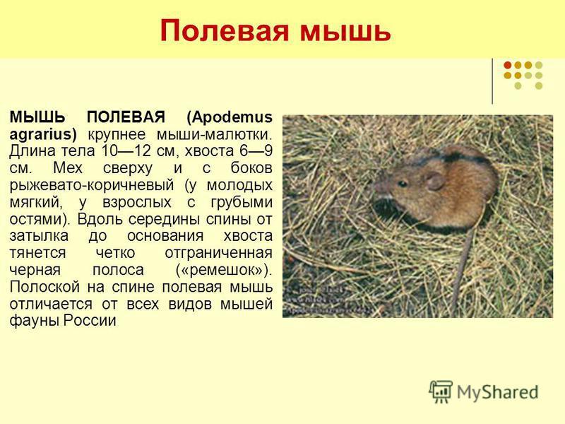 Полевая мышь МЫШЬ ПОЛЕВАЯ (Apodemus agrarius) крупнее мыши-малютки. Длина тела 1012 см, хвоста 69 см. Мех сверху и с боков рыжевато-коричневый (у молодых мягкий, у взрослых с грубыми остями). Вдоль середины спины от затылка до основания хвоста тянетс