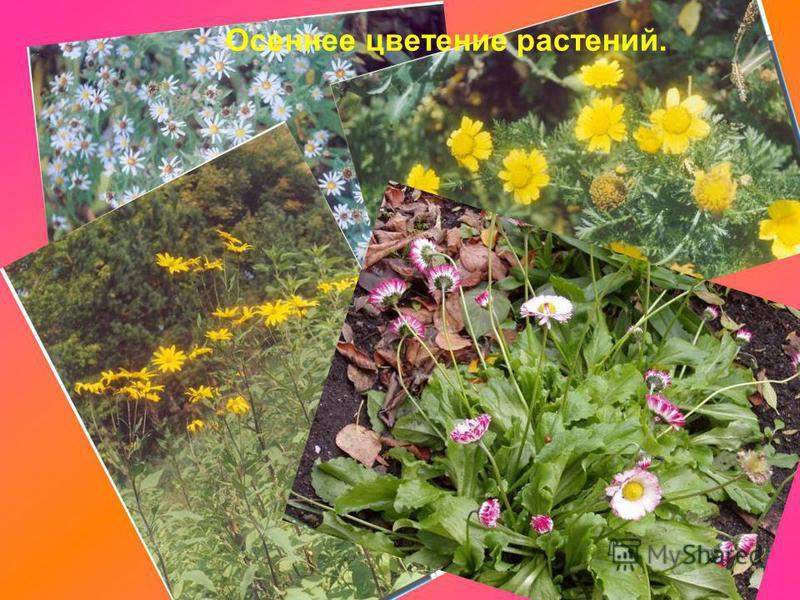Осеннее цветение растений.