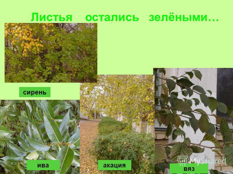 ива вяз акация сирень Листья остались зелёными…