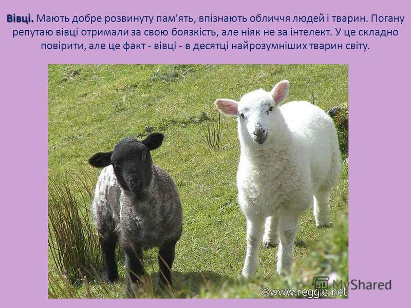 Вівці. Вівці. Мають добре розвинуту пам'ять, впізнають обличчя людей і тварин. Погану репутаю вівці отримали за свою боязкість, але ніяк не за інтелект. У це складно повірити, але це факт - вівці - в десятці найрозумніших тварин світу.