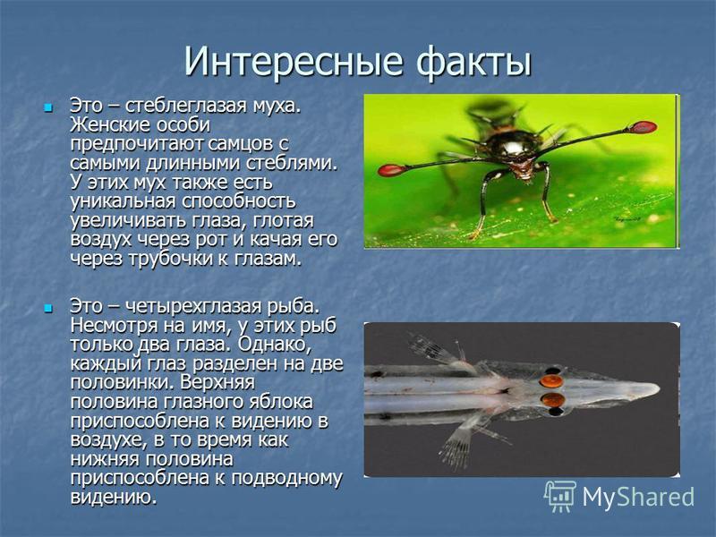 Интересные факты Это – стеблеглазая муха. Женские особи предпочитают самцов с самыми длинными стеблями. У этих мух также есть уникальная способность увеличивать глаза, глотая воздух через рот и качая его через трубочки к глазам. Это – стеблеглазая му