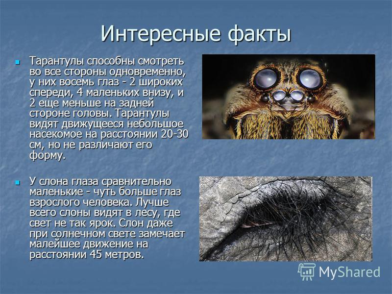Интересные факты Тарантулы способны смотреть во все стороны одновременно, у них восемь глаз - 2 широких спереди, 4 маленьких внизу, и 2 еще меньше на задней стороне головы. Тарантулы видят движущееся небольшое насекомое на расстоянии 20-30 см, но не