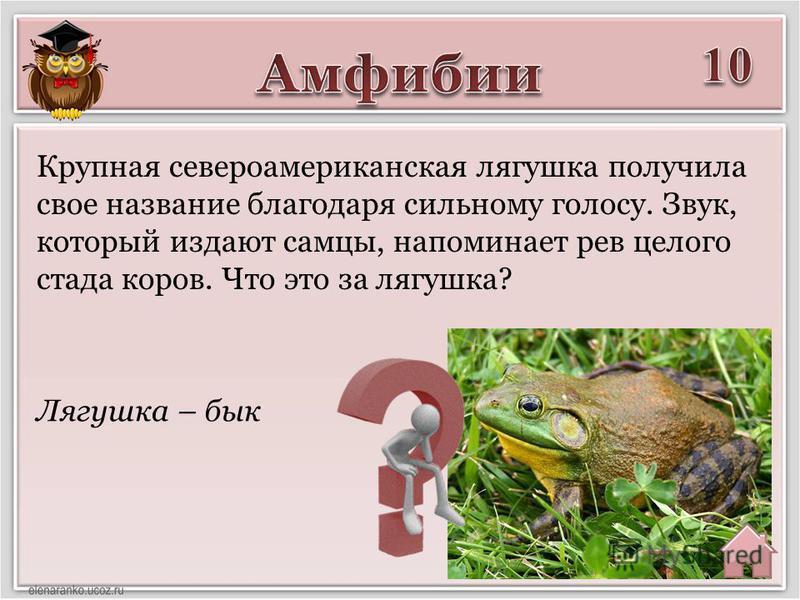 Лягушка – бык Крупная североамериканская лягушка получила свое название благодаря сильному голосу. Звук, который издают самцы, напоминает рев целого стада коров. Что это за лягушка?