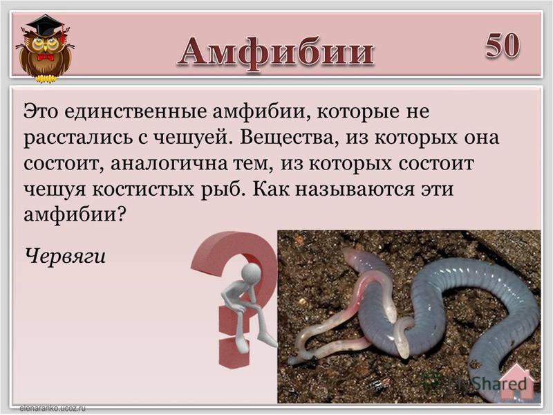 Червяги Это единственные амфибии, которые не расстались с чешуей. Вещества, из которых она состоит, аналогична тем, из которых состоит чешуя костистых рыб. Как называются эти амфибии?