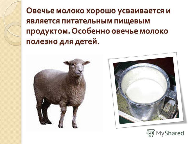 Овечье молоко хорошо усваивается и является питательным пищевым продуктом. Особенно овечье молоко полезно для детей.
