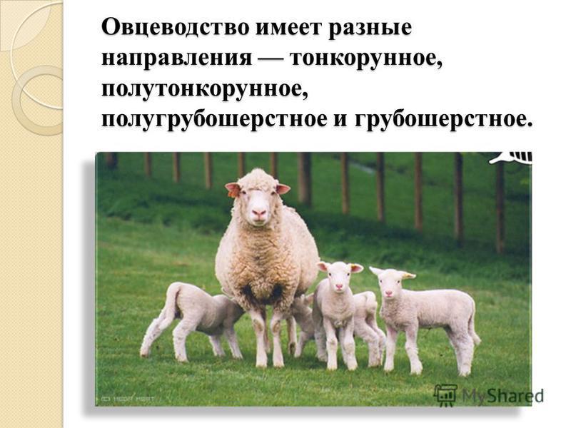 Овцеводство имеет разные направления тонкорунное, полутонкорунное, полугрубошерстное и грубошерстное.