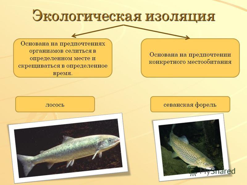 Экологическая изоляция Основана на предпочтениях организмов селиться в определенном месте и скрещиваться в определенное время. Основана на предпочтении конкретного местообитания лосось севанская форель