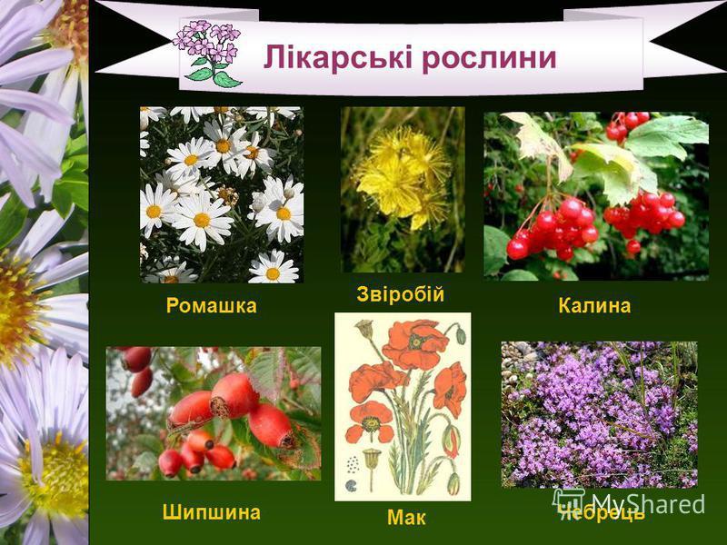 Лікарські рослини Шипшина Ромашка Звіробій Калина Чебрець Мак