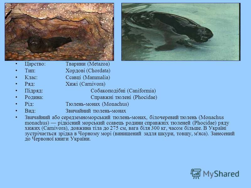 Царство:Тварини (Metazoa) Тип:Хордові (Chordata) Клас:Ссавці (Mammalia) Ряд:Хижі (Carnivora) Підряд:Собакоподібні (Caniformia) Родина:Справжні тюлені (Phocidae) Рід:Тюлень-монах (Monachus) Вид:Звичайний тюлень-монах Звичайний або середземноморський т