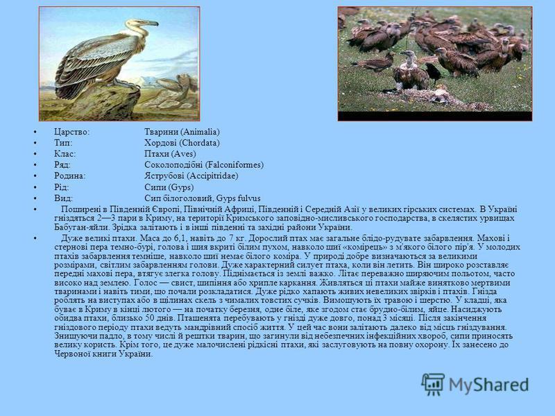 Царство:Тварини (Animalia) Тип:Хордові (Chordata) Клас:Птахи (Aves) Ряд:Соколоподібні (Falconiformes) Родина:Яструбові (Accipitridae) Рід:Сипи (Gyps) Вид:Сип білоголовий, Gyps fulvus Поширені в Південній Європі, Північній Африці, Південній і Середній