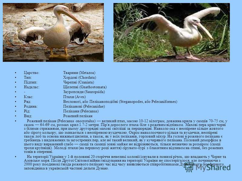 Царство:Тварини (Metazoa) Тип:Хордові (Chordata) Підтип:Черепні (Craniata) Надклас:Щелепні (Gnathostomata) -Зауропсиди (Sauropsida) Клас:Птахи (Aves) Ряд:Веслоногі, або Пеліканоподібні (Steganopodes, або Pelecaniformes) Родина:Пеліканові (Pelecanidae