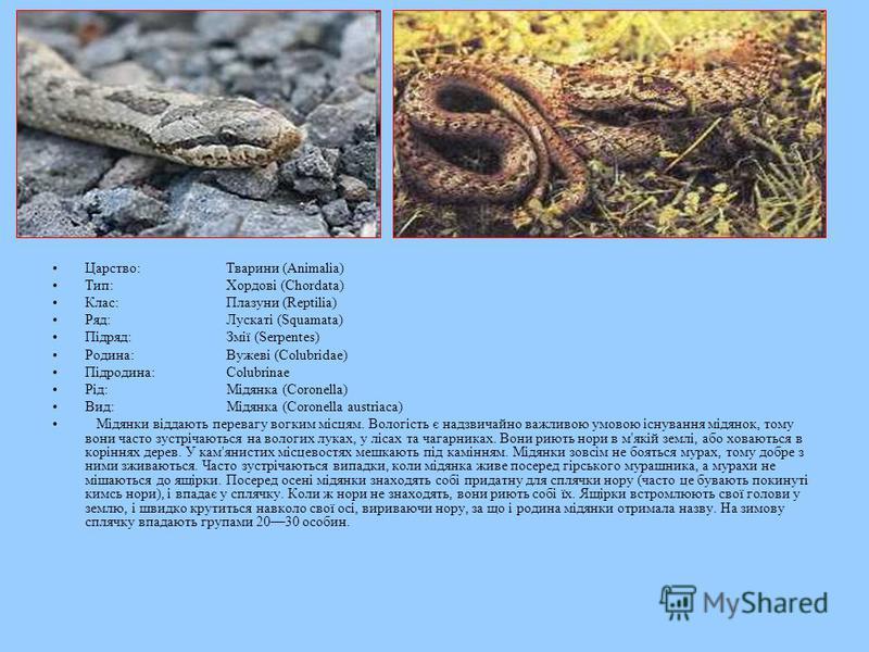 Царство:Тварини (Animalia) Тип:Хордові (Chordata) Клас:Плазуни (Reptilia) Ряд:Лускаті (Squamata) Підряд:Змії (Serpentes) Родина:Вужеві (Colubridae) Підродина:Colubrinae Рід:Мідянка (Coronella) Вид:Мідянка (Coronella austriaca) Мідянки віддають перева