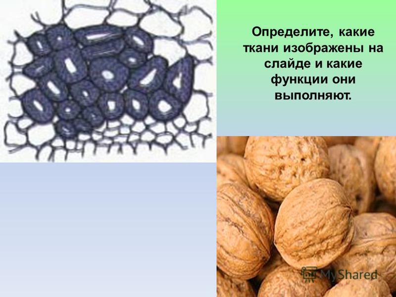 Определите, какие ткани изображены на слайде и какие функции они выполняют.