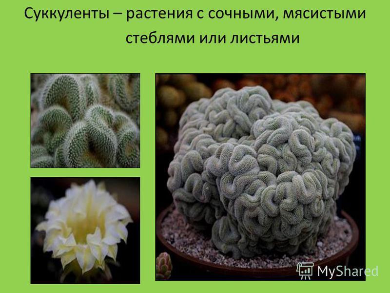 Суккуленты Суккуленты – растения с сочными, мясистыми стеблями или листьями