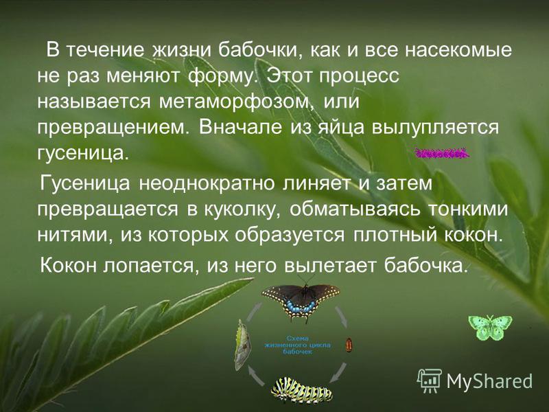 В течение жизни бабочки, как и все насекомые не раз меняют форму. Этот процесс называется метаморфозом, или превращением. Вначале из яйца вылупляется гусеница. Гусеница неоднократно линяет и затем превращается в куколку, обматываясь тонкими нитями, и