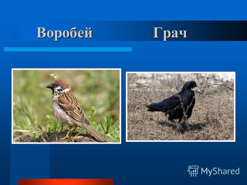 Воробей Грач Воробей Грач