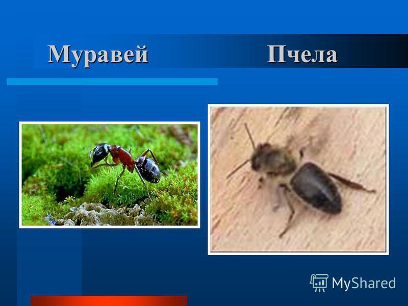 Муравей Пчела Муравей Пчела