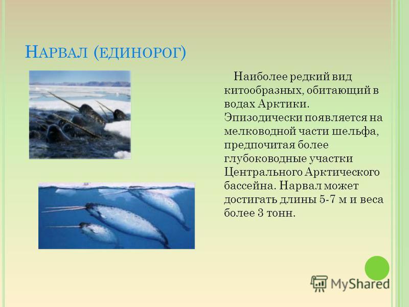 Н АРВАЛ ( ЕДИНОРОГ ) Наиболее редкий вид китообразных, обитающий в водах Арктики. Эпизодически появляется на мелководной части шельфа, предпочитая более глубоководные участки Центрального Арктического бассейна. Нарвал может достигать длины 5-7 м и ве