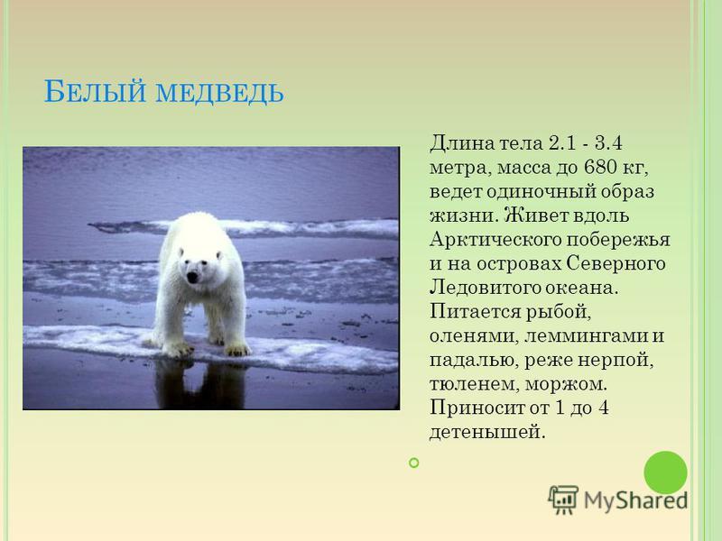 Б ЕЛЫЙ МЕДВЕДЬ Длина тела 2.1 - 3.4 метра, масса до 680 кг, ведет одиночный образ жизни. Живет вдоль Арктического побережья и на островах Северного Ледовитого океана. Питается рыбой, оленями, леммингами и падалью, реже нерпой, тюленем, моржом. Принос