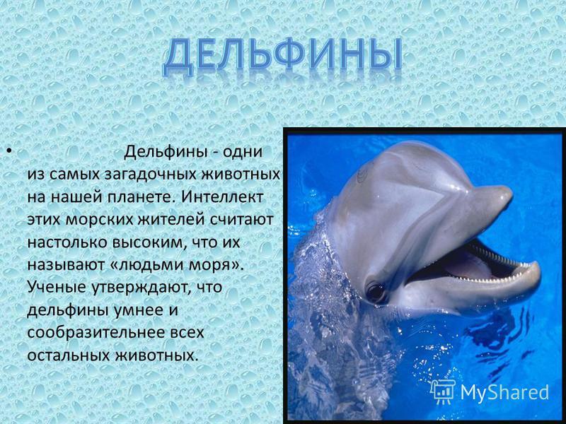 Дельфины - одни из самых загадочных животных на нашей планете. Интеллект этих морских жителей считают настолько высоким, что их называют «людьми моря». Ученые утверждают, что дельфины умнее и сообразительнее всех остальных животных.