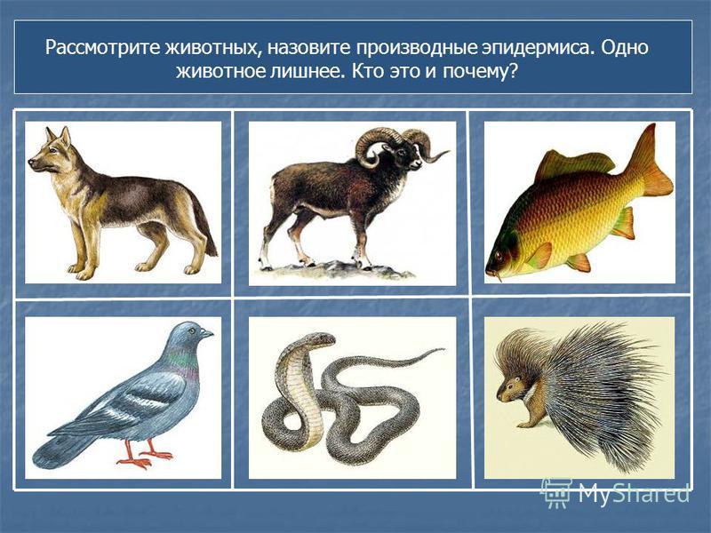 Рассмотрите животных, назовите производные эпидермиса. Одно животное лишнее. Кто это и почему?