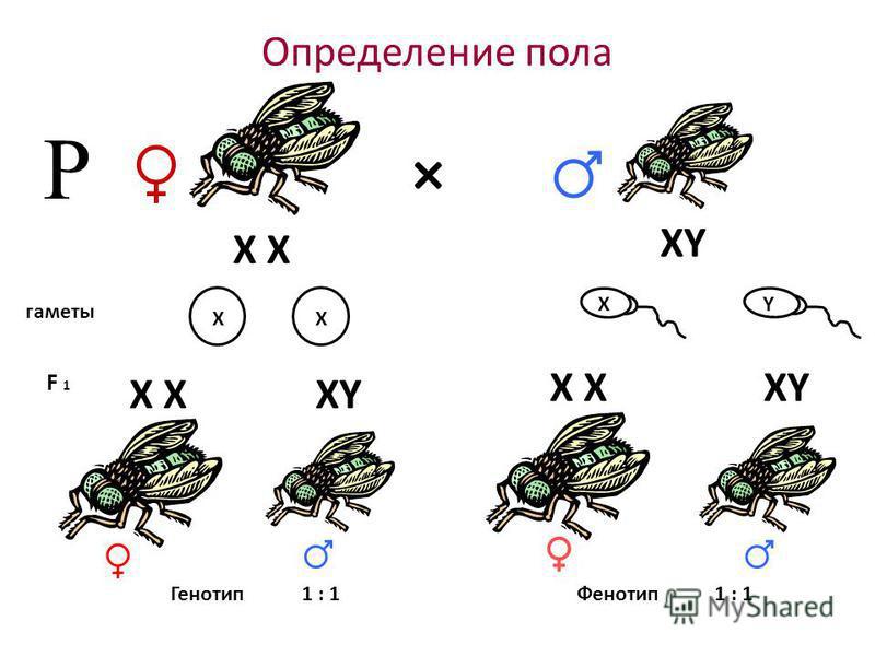 Определение пола × гаметы F 1 Р Генотип 1 : 1 Фенотип XY X X XY XX XY
