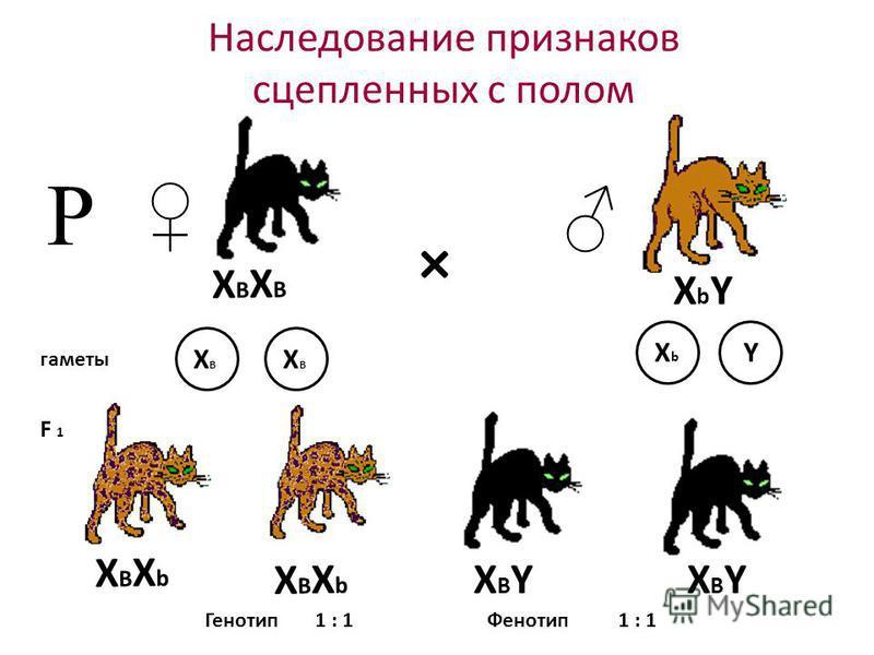 Наследование признаков сцепленных с полом × гаметы F 1 Р Генотип 1 : 1 Фенотип XВXbXВXb XbYXbY XВXВ XВXВ XbXb Y XВXbXВXb XВXВXВXВ XBYXBYXBYXBY