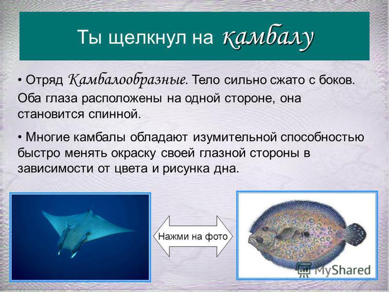 ската рогача Ты щелкнул на ската рогача Акулы имеют веретенообразную форму тела, а у большинства скатов оно приобрело форму диска, уплощённого в горизонтальной плоскости и окаймлённого боковыми плавниками. Отряд Хвостоколообразные, семейство Рогачевы