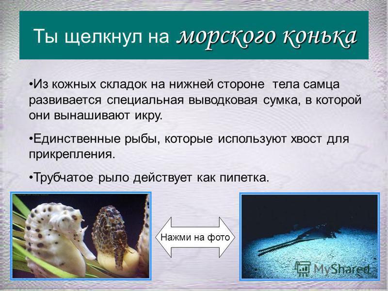 пилу-рыбу Ты щелкнул на пилу-рыбу Нажми на фото Отряд Пилорылообразные. От других скатов отличаются удлиненным рылом, которым пилорылы добывают пищу - выкапывают из ила различных мелких животных живущих в грунте. Иногда действуют своей пилой как сабл