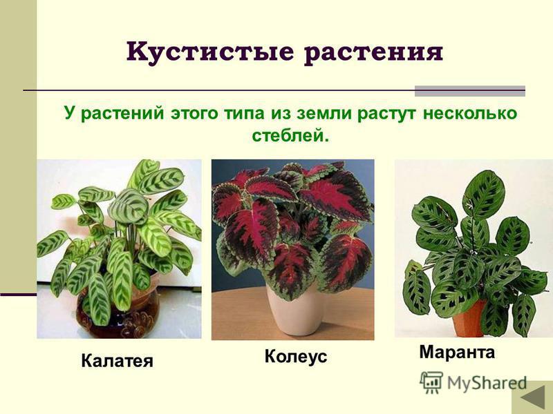 Кустистые растения Колеус Маранта Калатея У растений этого типа из земли растут несколько стеблей.