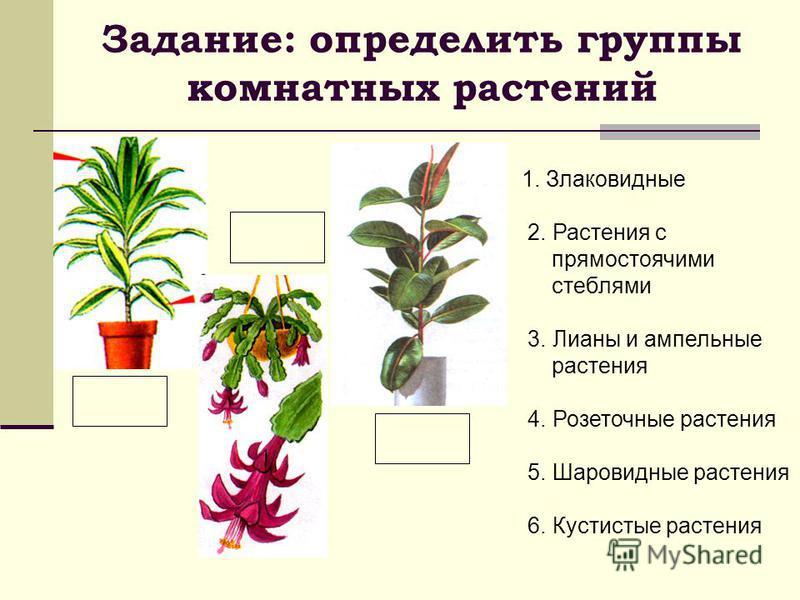 Задание: определить группы комнатных растений 1. Злаковидные 2. Растения с прямостоячими стеблями 3. Лианы и ампельные растения 4. Розеточные растения 5. Шаровидные растения 6. Кустистые растения