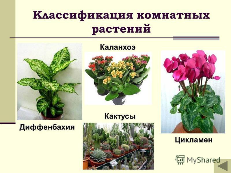 Классификация комнатных растений Кактусы Диффенбахия Каланхоэ Цикламен
