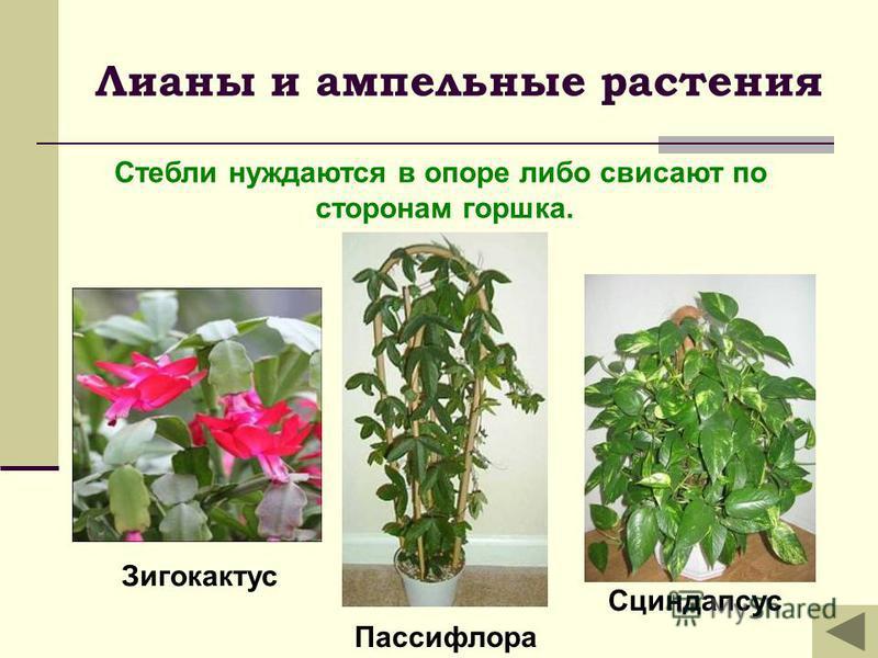 Лианы и ампельные растения Сциндапсус Стебли нуждаются в опоре либо свисают по сторонам горшка. Зигокактус Пассифлора