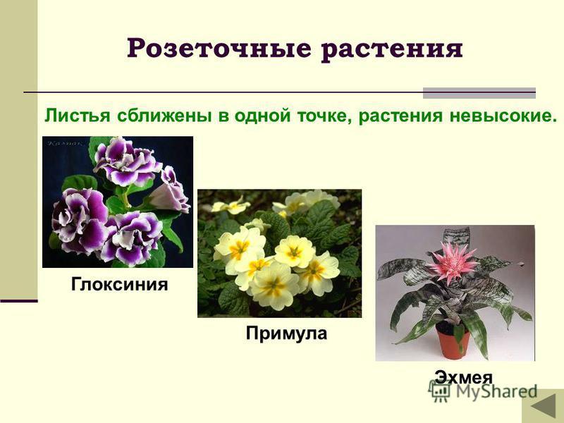 Розеточные растения Листья сближены в одной точке, растения невысокие. Глоксиния Примула Эхмея