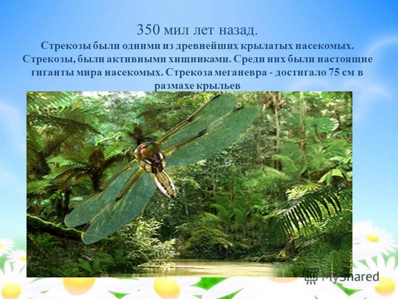350 мил лет назад. Стрекозы были одними из древнейших крылатых насекомых. Стрекозы, были активными хищниками. Среди них были настоящие гиганты мира насекомых. Стрекоза меганевра - достигало 75 см в размахе крыльев