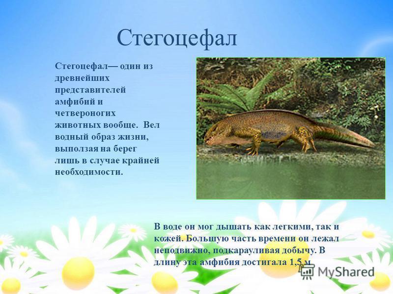 Стегоцефал один из древнейших представителей амфибий и четвероногих животных вообще. Вел водный образ жизни, выползая на берег лишь в случае крайней необходимости. В воде он мог дышать как легкими, так и кожей. Большую часть времени он лежал неподвиж