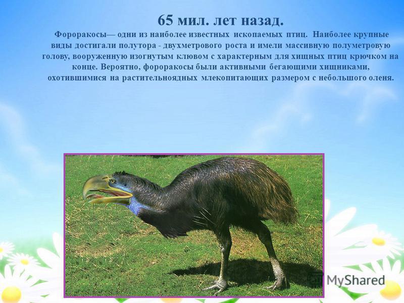 65 мил. лет назад. Фороракосы одни из наиболее известных ископаемых птиц. Наиболее крупные виды достигали полутора - двухметрового роста и имели массивную полуметровую голову, вооруженную изогнутым клювом с характерным для хищных птиц крючком на конц