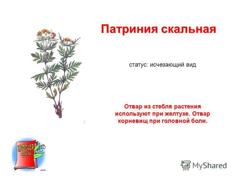 Патриния скальная статус: исчезающий вид Отвар из стебля растения используют при желтухе. Отвар корневищ при головной боли.
